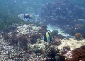 Indo_Lembongan_187_L02-Sth_Picasso-Triggerfish_20160627_P6270017.jpg