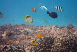 indo_lembongan_198_l02-sth_corals-n-black-backed-butterflyfish_20160627_p6270074
