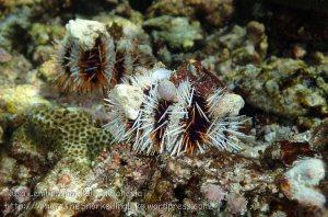 Indo_Lembongan_206_L02-Sth_Sea-Urchin_20160630_P6300394.jpg
