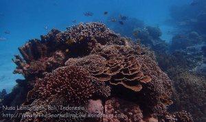 Indo_Lembongan_233_L03_Corals_20160630_P6300433.jpg
