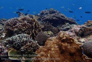 Indo_Lembongan_234_L03_Corals_20160630_P6300458.jpg