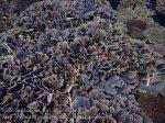 Indo_Lembongan_252_L03_Corals_20160630_P6300550.jpg