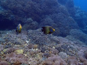 Indo_Lembongan_286_L03_Semi-Circle-Angelfish_20160630_P6300440.jpg