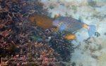 Indo_Lembongan_290_L03_Yellow-boxfish_20160627_P6270161.jpg
