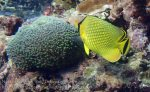 Indo_Lembongan_294_L03_Lattice-Butterflyfish_20160630_P6300534.jpg