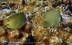 Indo_Lembongan_298_L03_Speckled-Butterflyfish_20160630_P6300539.jpg
