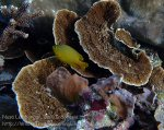 Indo_Lembongan_304_L03_Lemon-Damselfish_20160630_P6300494.jpg