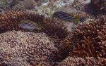 Indo_Lembongan_316_L03_Oriental-Sweetlipsfish_20160630_P6300418.jpg