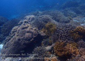 Indo_Lembongan_830_L1c_Corals_20160701_P7010664.jpg