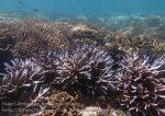 Indo_Lembongan_833_L1b_Corals_20160701_P7010660.jpg