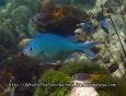 Damselfish_Chromis_Black-Axil_Chromis-atripectoralis_PB300815_.JPG