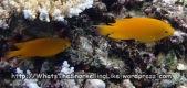 Damselfish_Lemon-Damselfish_Pomacentrus-moluccensis_P4133849_.JPG